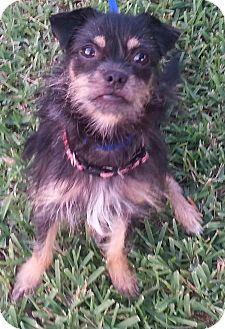 Yorkie, Yorkshire Terrier Mix Puppy for adoption in Orlando, Florida - Nili