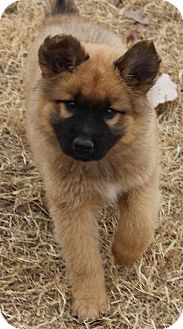 Chow Chow/German Shepherd Dog Mix Dog for adoption in Flower Mound, Texas - Toby
