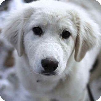 Great Pyrenees Mix Puppy for adoption in Craig, Colorado - Aspen