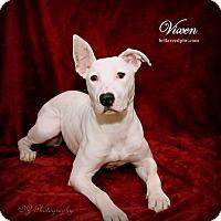 Adopt A Pet :: Vixen - Southampton, PA