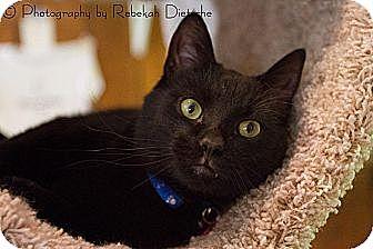 Domestic Shorthair Cat for adoption in Byron Center, Michigan - Aragorn