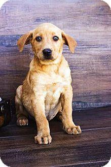 Labrador Retriever/Labrador Retriever Mix Puppy for adoption in Mesa, Arizona - ROXANNE 8 W LAB MIX@PETCO