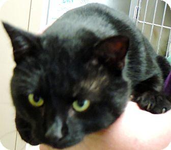 Domestic Shorthair Cat for adoption in Fremont, Nebraska - Chesney