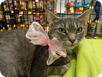 Domestic Shorthair Cat for adoption in The Colony, Texas - Deidre