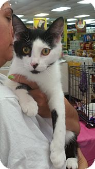Domestic Shorthair Cat for adoption in Cary, North Carolina - Lydia