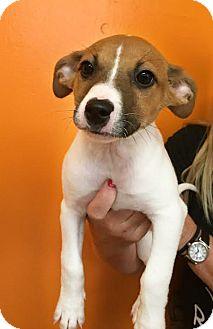 Jack Russell Terrier/Australian Shepherd Mix Puppy for adoption in Boca Raton, Florida - Anakin