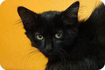 Domestic Mediumhair Kitten for adoption in Elyria, Ohio - Saffron