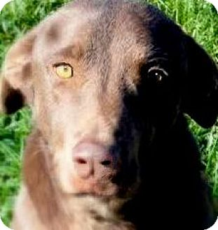 Labrador Retriever Mix Dog for adoption in Wakefield, Rhode Island - LOUIE(TRAINED-SO SMART!!
