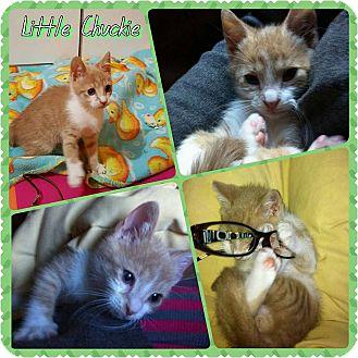 Domestic Shorthair Kitten for adoption in Winchester, Virginia - Little Chuckie
