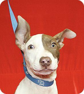 Pit Bull Terrier Mix Puppy for adoption in Jackson, Michigan - Maisie