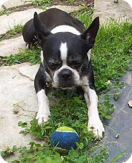 Boston Terrier Dog for adoption in Montreal, Quebec - Rocky V