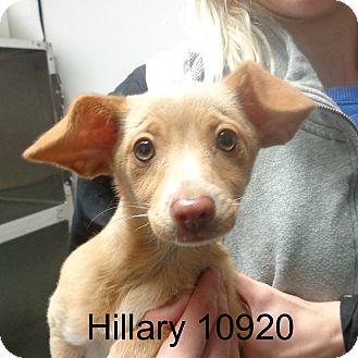 Dachshund/Chihuahua Mix Dog for adoption in Manassas, Virginia - Hillary