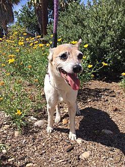 Rat Terrier Dog for adoption in El Cajon, California - Bonnie(Teetee)