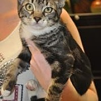 Domestic Shorthair/Domestic Shorthair Mix Cat for adoption in Pompano Beach, Florida - Lexie