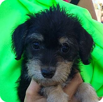 Poodle (Miniature)/Terrier (Unknown Type, Small) Mix Puppy for adoption in San Diego, California - FLOWER