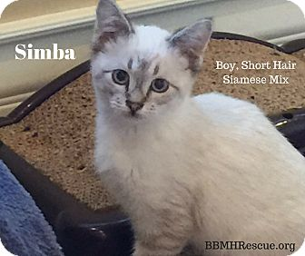 Domestic Shorthair Kitten for adoption in Temecula, California - Simba