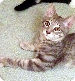 Domestic Shorthair Kitten for adoption in Lombard, Illinois - Houston