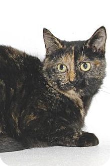 Domestic Shorthair Cat for adoption in Gloucester, Virginia - COCOA