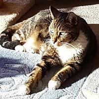 Domestic Shorthair Cat for adoption in Encinitas, California - Nullah