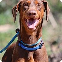 Adopt A Pet :: Patty - Fillmore, CA