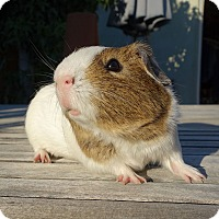 Guinea Pig for adoption in Fullerton, California - Briggs
