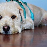 Adopt A Pet :: Bruno - Redondo Beach, CA