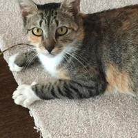 Adopt A Pet :: Candida (Orlando Litter Mama) - Baltimore, MD