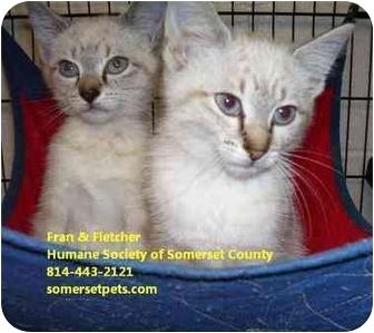 Siamese Kitten for adoption in Somerset, Pennsylvania - Fletcher