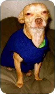 Chihuahua Dog for adoption in Portland, Oregon - Eva