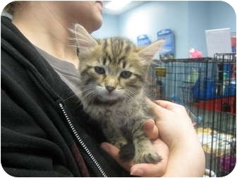 Maine Coon Kitten for adoption in Sterling Hgts, Michigan - Kaitlyn