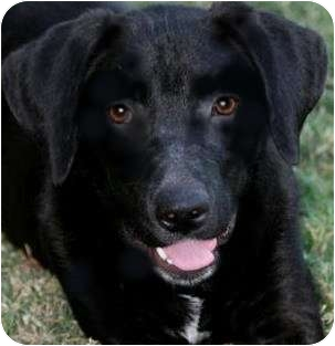 Labrador Retriever Mix Puppy for adoption in Providence, Rhode Island - DRAKE