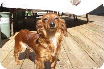 Dachshund Dog for adoption in Raleigh, North Carolina - Sally