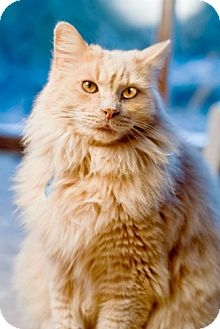 Domestic Longhair Cat for adoption in Grand Rapids, Michigan - Castle