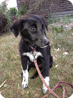 Border Collie/Shepherd (Unknown Type) Mix Puppy for adoption in Westminster, Colorado - Kinsey