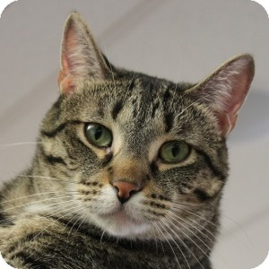 Domestic Shorthair Cat for adoption in Naperville, Illinois - Angel