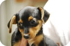 Miniature Pinscher Puppy for adoption in Boonsboro, Maryland - Jim-Bob
