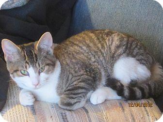 Domestic Shorthair Kitten for adoption in Cincinnati, Ohio - Ace