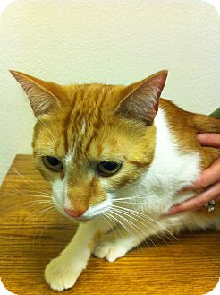 Domestic Shorthair Cat for adoption in Fountain Hills, Arizona - JIMMY (declawed)