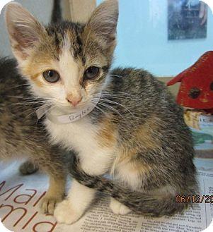 Domestic Shorthair Kitten for adoption in Westminster, California - Baylee