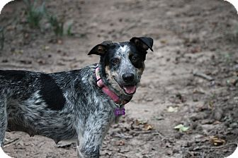 Australian Cattle Dog Mix Dog for adoption in Altanta, Georgia - Josie