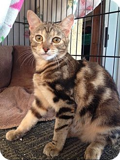 Domestic Shorthair Kitten for adoption in Pasadena, California - MISTY, great markings!