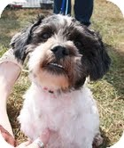 Shih Tzu Mix Dog for adoption in Hagerstown, Maryland - Raffi