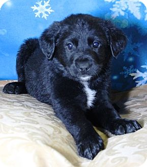 Catahoula Leopard Dog/Retriever (Unknown Type) Mix Puppy for adoption in Westminster, Colorado - Puff Daddy