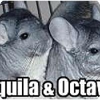 Adopt A Pet :: Octavia - Virginia Beach, VA