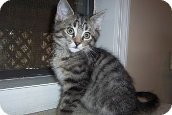 Siamese Kitten for adoption in Pueblo West, Colorado - Brody