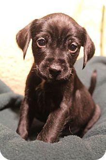 Patterdale Terrier (Fell Terrier)/Cocker Spaniel Mix Puppy for adoption in Staunton, Virginia - Hale