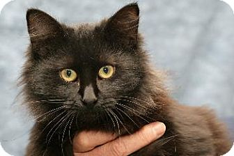 Domestic Longhair Cat for adoption in Oakland, California - Dee Dee