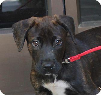 Mastiff/Labrador Retriever Mix Puppy for adoption in Ridgecrest, California - Emma