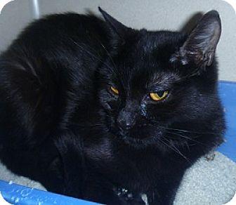 Domestic Shorthair Cat for adoption in Hamburg, New York - Chivonne