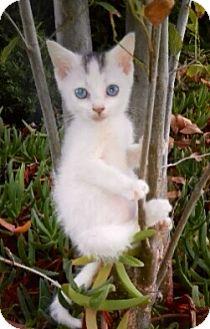 Domestic Shorthair Kitten for adoption in Pasadena, California - ANNIE